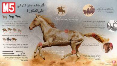 صورة الحصان التركي و قدرته على المناورة
